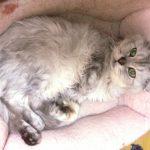 猫の慢性腎臓病治療薬「ラプロス」ってどんな薬?副作用はある?