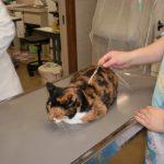 ラプロスを開始した猫ちゃんたち 副作用や飲ませ方