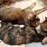 新入りの成猫を迎え入れに成功した例 先住猫と仲良くなれる?
