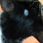 猫の頭の円形脱毛症の原因は?
