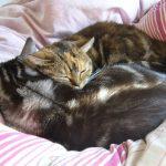 しょこたん愛猫マミタスが急死 何歳だった?猫の急死の原因は?