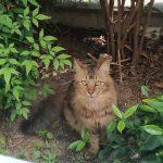 最近の猫たち ロンちゃんは野良猫とケンカ><