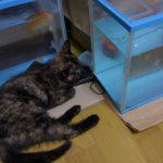 猫が金魚の水槽に手を突っ込んで困った時