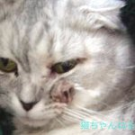 猫の口内炎・歯肉炎に効く薬は抗生物質?通販で買える?