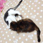 先住猫と新入り猫を仲良くさせるコツは?