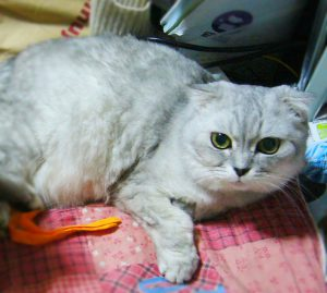 scottishfold_cheeco01