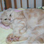 公園で置き去りにされていたマンチカンの子猫 ミルくん