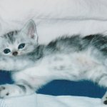 新型コロナウイルスは猫にうつる事がわかった!猫から人へは?